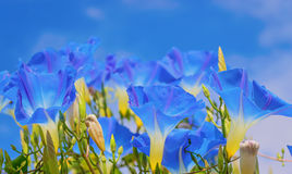 Ipomoea blu celeste & x28; glory& x29 di mattina; fiori Fotografia Stock
