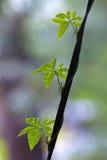 Ipomoea cairica (I. palmata) stock image