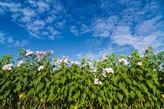 Ipomoea carnea or morning glory flower on tree Stock Photo