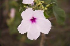 Ipomoea carnea . pink flower. kangkung pagar stock photography