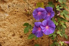 Ipomoea. A cluster of violet Ipomoea flowers blooming in a garden in Rabat, Morocco royalty free stock images