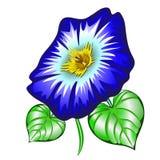 Ipomoea de la flor fotos de archivo
