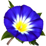 Ipomoea flower Royalty Free Stock Images