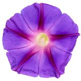 Ipomoea flower, Japanese morning glory, isolated on white background.  stock photography