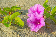Ipomoea flowers on the beach. With waterdrops royalty free stock photography