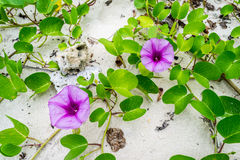 Ipomoea flowers on the beaches Stock Image