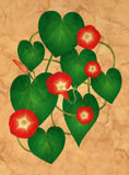 Ipomoea flowers on the grungy paper Stock Images