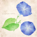 Ipomoea illustration Stock Photos