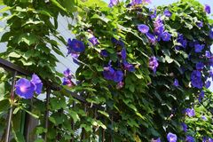 Ipomoea indica royalty free stock images