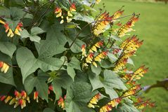 Ipomoea lobata vine. Branches of Ipomoea lobata with red and yellow inflorescence stock photo