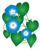 Ipomoea morning glory flower. Ipomoea morning glory plant with blue flowers stock illustration