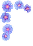 Ipomoea nil flowers frame Stock Image
