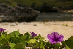 Ipomoea púrpura de la flor de la playa Foto de archivo libre de regalías