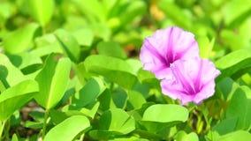 Ipomoea pes-caprae, als bayhops, de glorie van de strandochtend of geitenvoet die wordt bekend stock footage