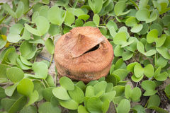 Ipomoea Pes-caprae Anlagen- oder Ziege Fuß-Kriechpflanze mit alter Kokosnuss Stockfotos