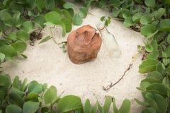 Ipomoea Pes-caprae Anlagen- oder Ziege Fuß-Kriechpflanze mit alter Kokosnuss Stockbilder