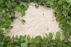 Ipomoea Pes-caprae Anlagen- oder Ziege Fuß-Kriechpflanze mit der Flasche Stockbilder