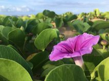 Ipomoea Pes-caprae ant Blossoming on Beach in Kekaha during Sunrise on Kauai Island in Hawaii. royalty free stock image
