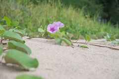 Ipomoea pes-caprae or Beach Morning Glory are blooming. On the thailand beach royalty free stock image