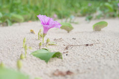 Ipomoea pes-caprae or Beach Morning Glory are blooming. On the thailand beach royalty free stock photography