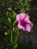 Ipomoea Pes-caprae (Beach Morning Glory) Blossoming in Sand Dunes. Stock Photos