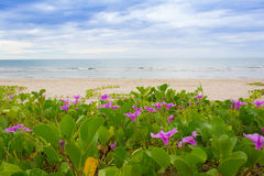 Ipomoea pes-caprae on the beach. Beach Morning Glory leaves in wind (Ipomoea pes-caprae Stock Photo