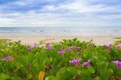 Ipomoea pes-caprae on the beach Stock Photo