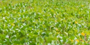 Ipomoea pes-caprae creeping plant Stock Image