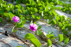 Ipomoea pes-caprae flower. Plant and Trees, Ipomoea pes-caprae flower Stock Photo