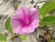 Ipomoea Pes-caprae Flower in Sand Dunes in Miami. Royalty Free Stock Images