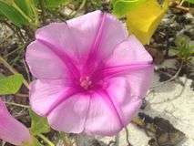 Ipomoea Pes-caprae Flower in Sand Dunes in Miami. Royalty Free Stock Photography