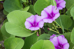Ipomoea pes-caprae. Ipomoea flowers on the beaches of Thailand royalty free stock photos