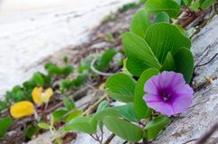 Ipomoea pes-caprae, Green Leafs Goat`s Foot Creeper on the beach. Beautiful beach morning glory on a morning sunshine day. Scientific Name : Ipomoea Pes-caprae royalty free stock photo