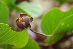 Ipomoea pes-caprae Linn's fruit Stock Image