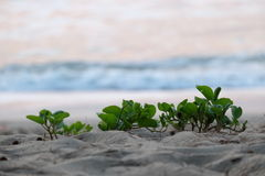Ipomoea. Pes-caprae plant at the beach stock images