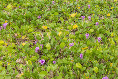 Ipomoea pes-caprae plant on the beach. A stump and Ipomoea pes-caprae plant on the beach Stock Photo