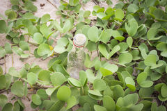 Ipomoea pes-caprae plant or Goat's Foot Creeper with the bottle Stock Photography