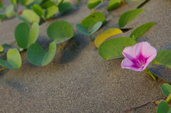 The  Ipomoea pes-caprae in sand. Ipomoea pes-caprae, also known as bayhops, beach morning glory or goat's foot, is a common pantropical creeping vine belonging Stock Photos