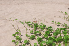 Ipomoea pes-caprae on sand beach. Ipomoea pes-caprae on sand beach royalty free stock photo