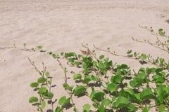 Ipomoea pes-caprae  on sand beach. Royalty Free Stock Photo