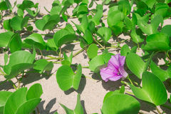 Ipomoea pes-caprae on sand beach. Ipomoea pes-caprae on sand beach royalty free stock photography