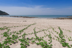 Ipomoea pes-caprae on sand beach. Ipomoea pes-caprae on sand beach stock photo
