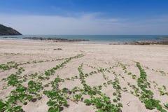 Ipomoea pes-caprae  on sand beach. Ipomoea pes-caprae  on sand beach Stock Photo