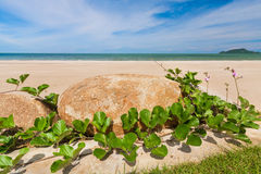 Ipomoea pes-caprae and stone. On the beach royalty free stock image