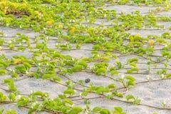 Ipomoea pes-caprae Sweet or Beach Morning Glory royalty free stock photos