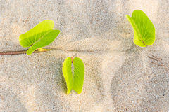 Ipomoea pes-caprae Sweet or Beach Morning Glory. And Scientific Name Ipomoea Pes-caprae on a beach with sand background stock image