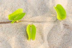 Ipomoea pes-caprae Sweet or Beach Morning Glory stock image