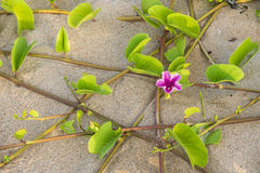 Ipomoea pes-caprae Sweet or Beach Morning Glory. And Scientific Name Ipomoea Pes-caprae on a beach with sand background stock images