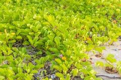 Ipomoea pes-caprae Sweet or Beach Morning Glory stock photos