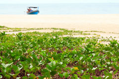 Ipomoea pes-caprae sweet on a beach. Southern of Thailand royalty free stock image